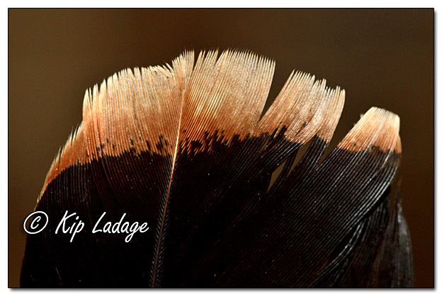 Wild Turkey Feather - Image 598897 (© Kip Ladage)