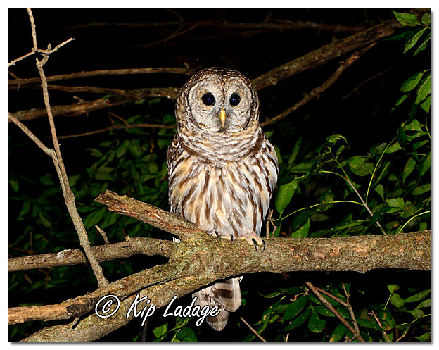 Barred Owl at Night - Image 523518 (© Kip Ladage)