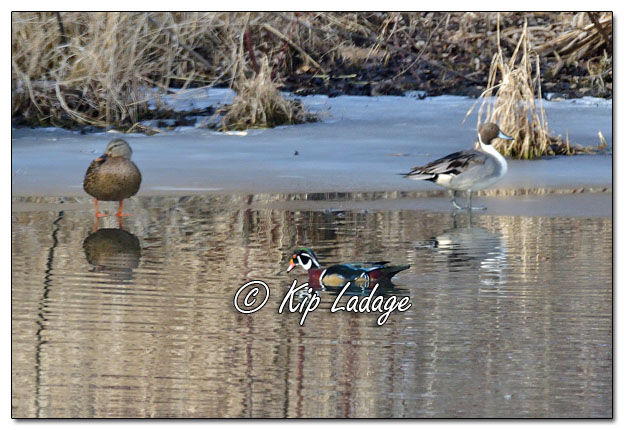 Northern PIntail Ducks and Drake Wood Duck in Early Winter - Image 602088 (© Kip Ladage)
