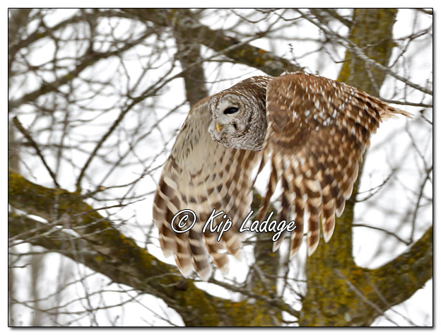 Barred Owl Before Snow Storm - Image 604780 (© Kip Ladage)