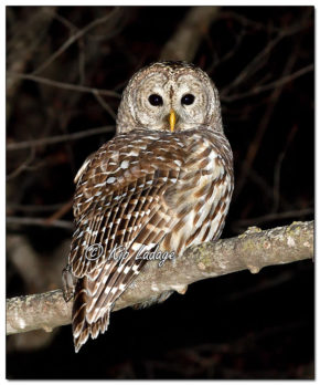 Barred Owl at Sweet Marsh - Image 604152 (© Kip Ladage)