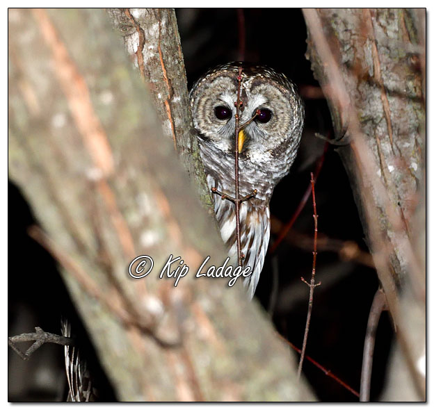 Barred Owl at Sweet Marsh - Image 604144 (© Kip Ladage)