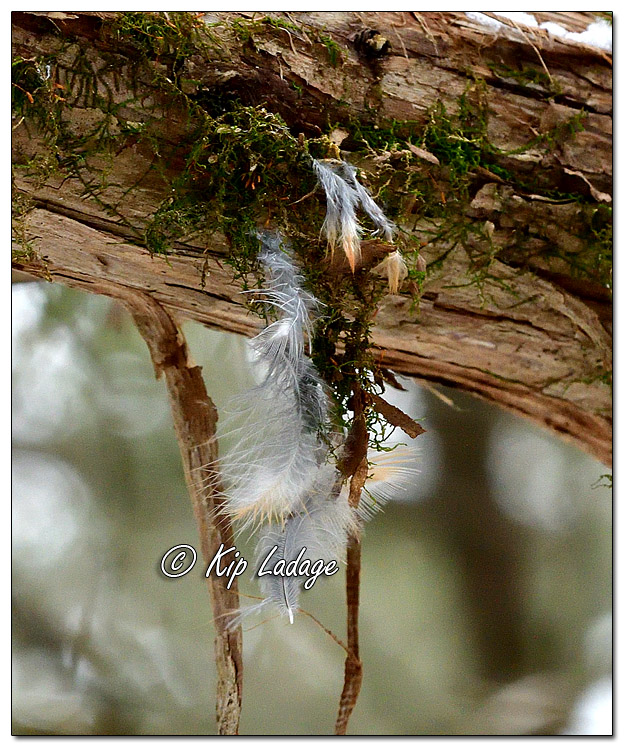 Feathers Hanging From Tree - Image 604290 (© Kip Ladage)