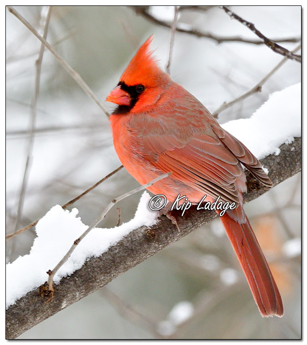 Male Northern Cardinal in Snow - Image 603344 (© Kip Ladage)