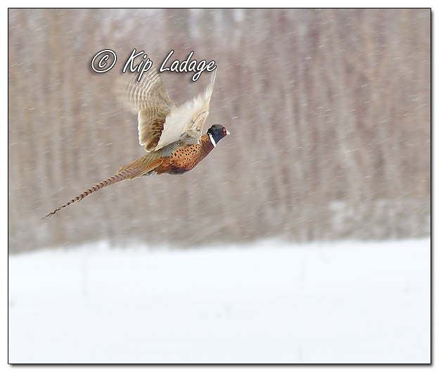 Rooster Ring-necked Pheasant in Snow - Image 605207 (© Kip Ladage)