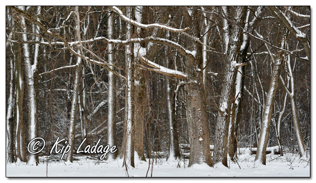 Snow on Tree Patterns - Image 604407 - (© Kip Ladage)