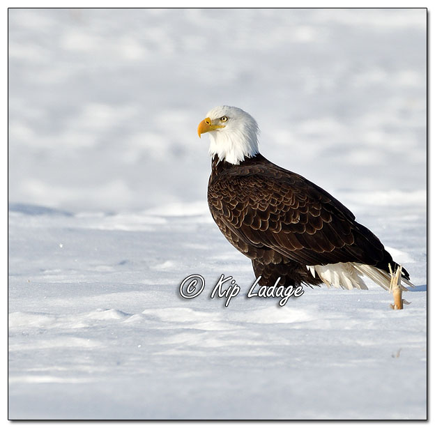 Adult Bald Eagle in Snowy Field - Image 611254 (© Kip Ladage)