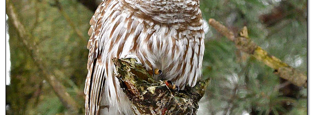 Barred Owl in Pine Tree - Image 609319 (© Kip Ladage)