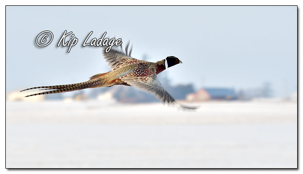 Rooster Ring-necked Pheasant in Flight - Image 608441 (© Kip Ladage)