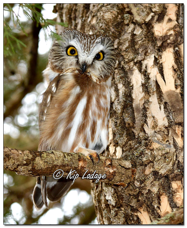 Northern Saw-whet Owl in Tree - Image 607781 (© Kip Ladage)
