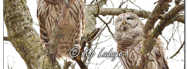 Barred Owls at Sweet 616451 (© Kip Ladage)