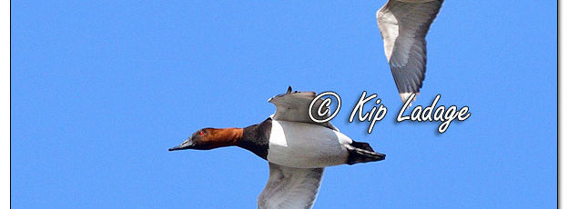 Canvasback in Flight - Image 613536 (© Kip Ladage)