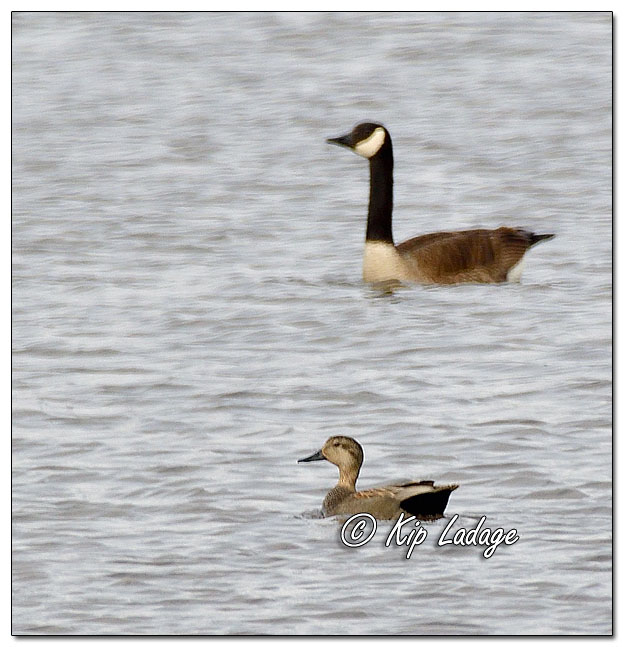 Gadwall and Canada Goose at Sweet 616121 (© Kip Ladage)