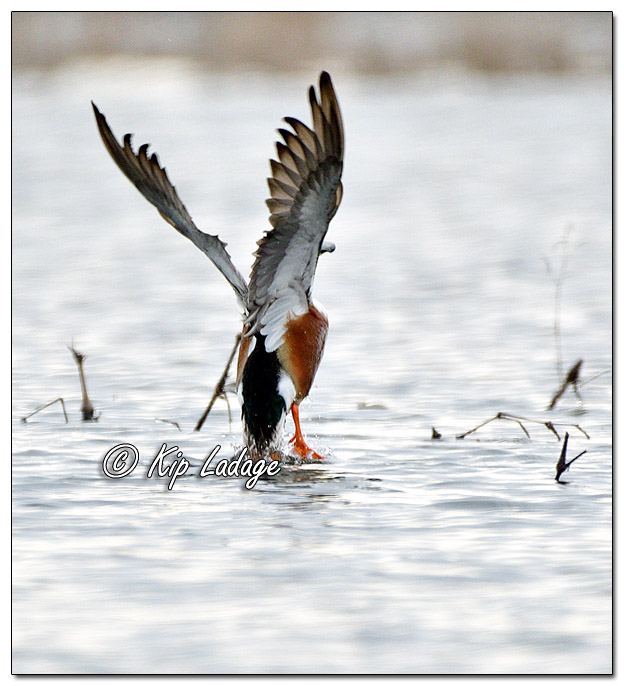 Northern Shoveler Taking Flight - Image 615561 (© Kip Ladage)