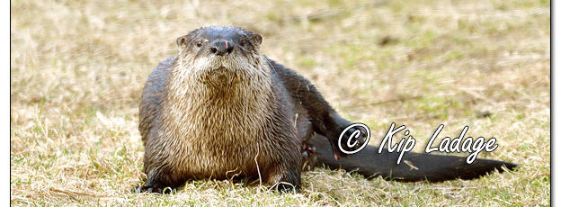 River Otter at Sweet 616324 (© Kip Ladage)