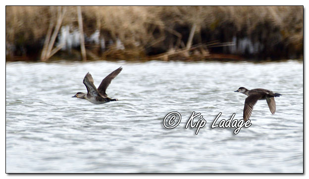 Ruddy Ducks at Sweet Marsh - Image 615611 (© Kip Ladage)
