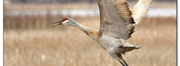 Sandhill Crane at Sweet Marsh - Image 614548 (© Kip Ladage)