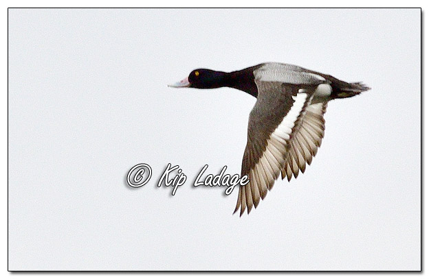 Scaup in Flight at Sweet Marsh - Image 615664 (© Kip Ladage)