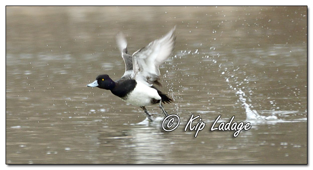 Scaup in Flight at Sweet Marsh - Image 615670 (© Kip Ladage)