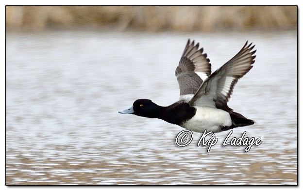 Scaup in Flight at Sweet Marsh - Image 615674 (© Kip Ladage)