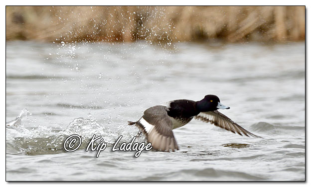 Scaup in Flight at Sweet Marsh - Image 615700 (© Kip Ladage)