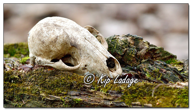 Animal Skull on Mossy Log - Image 618103 (© Kip Ladage)