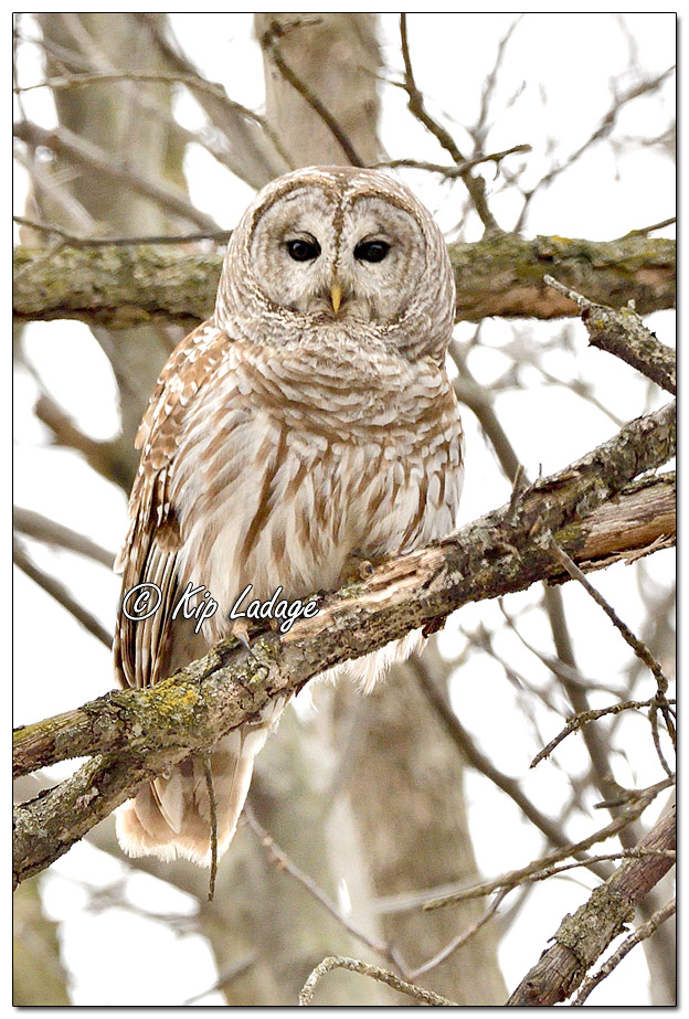Barred Owl at Sweet Marsh - Image 619769 (© Kip Ladage)