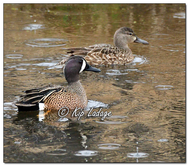 Blue-winged Teal in Rain - Image 621094 (© Kip Ladage)