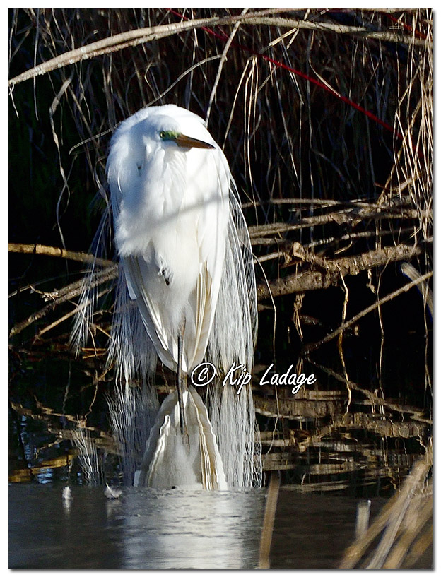 Great Egret at Sweet Marsh - Image 621965 (© Kip Ladage)
