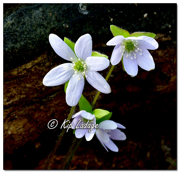 Hepatica at Ingawanis Woodlands - Image 620825 (© Kip Ladage)