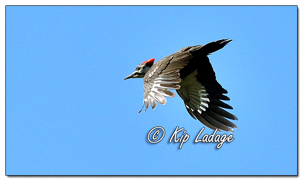Pileated Woodpecker - Image 618569 (© Kip Ladage)