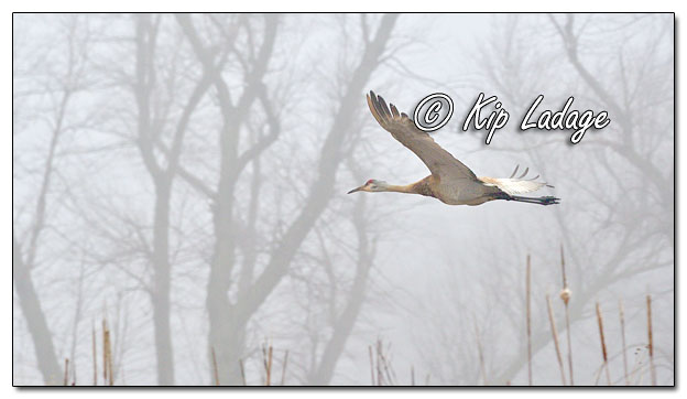 Sandhill Cranes in Fog at Sweet Marsh - Image 620002 (© Kip Ladage)