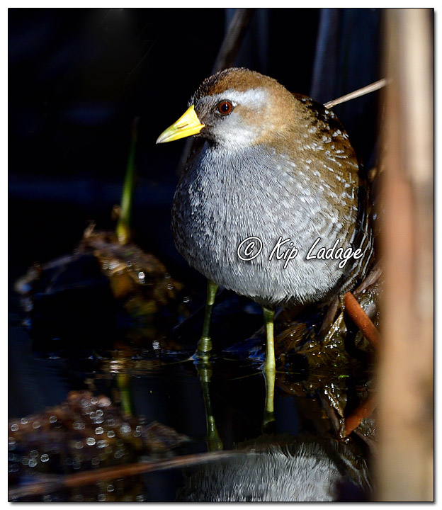 Sora at Sweet Marsh - Image 623922 (© Kip Ladage)