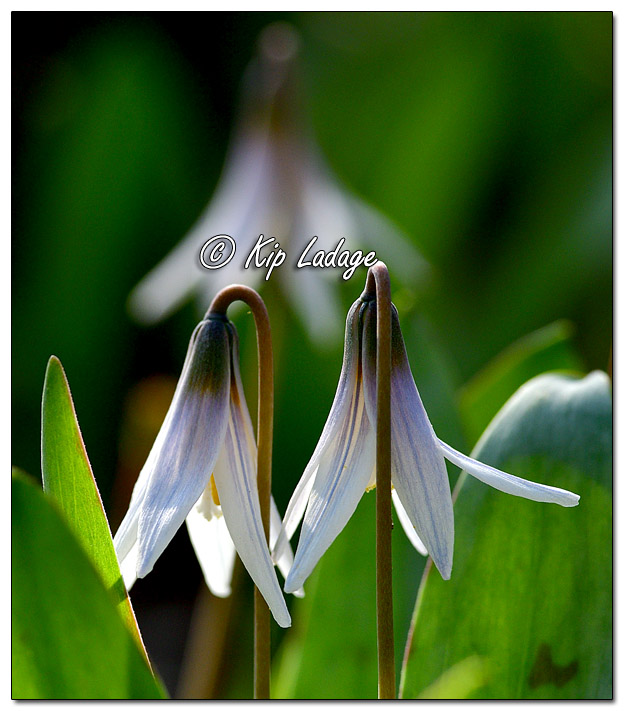 Trout Lily (Dogtooth Violet) - Image 627284 (© Kip Ladage)