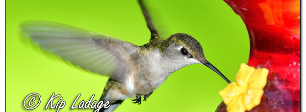 Female Ruby-throated Hummingbird at Feeder - Image 636477 (© Kip Ladage)