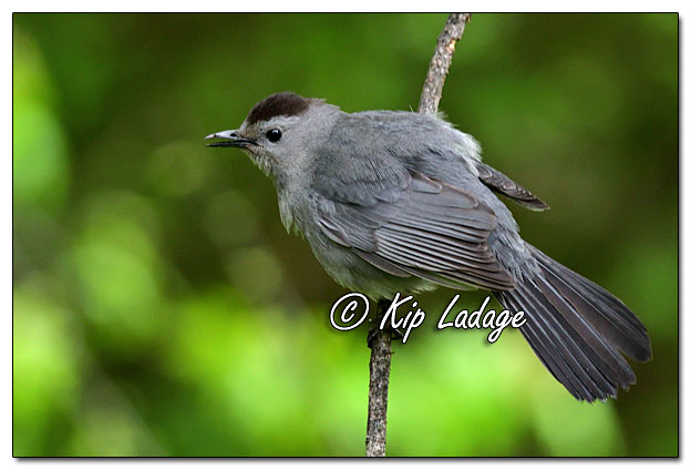 Gray Catbird in Maple Tree - Image 634631 - © Kip Ladage