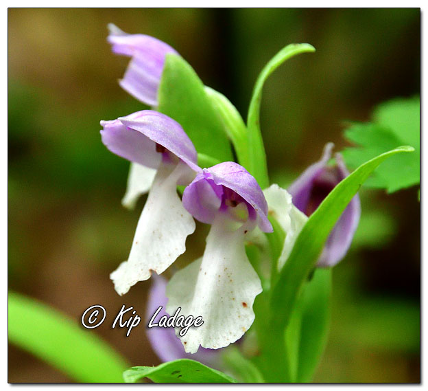 Showy Orchis - Image 635044 (© Kip Ladage)