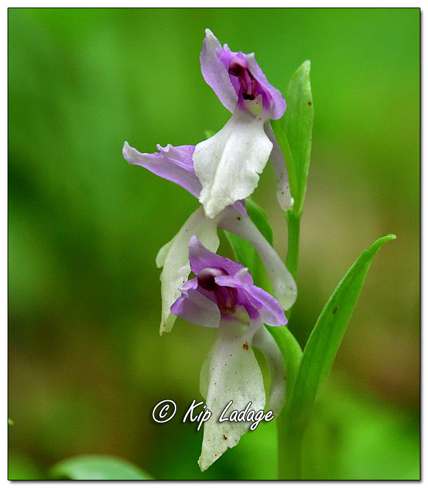 Showy Orchis - Image 635090 (© Kip Ladage)