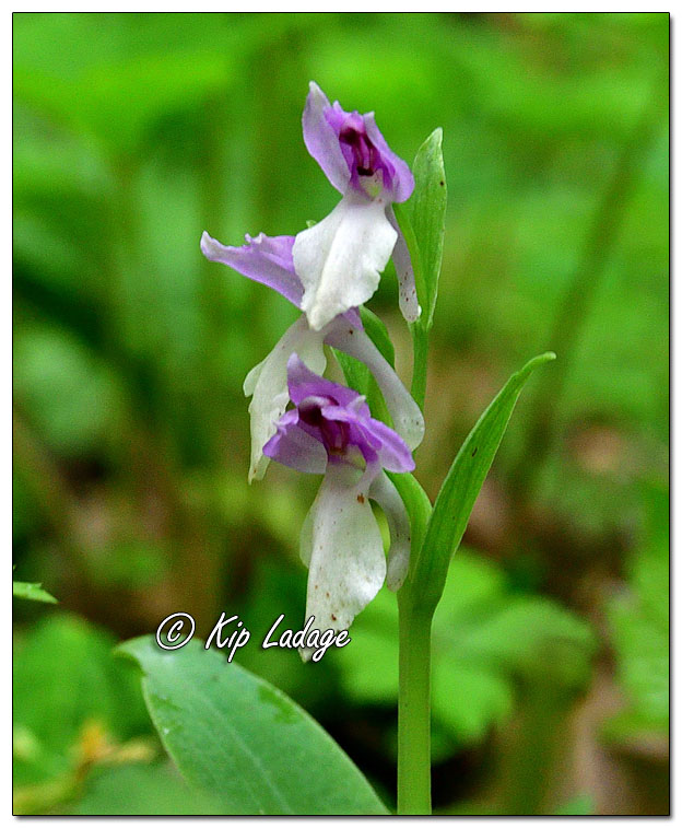 Showy Orchis - Image 635099 (© Kip Ladage)