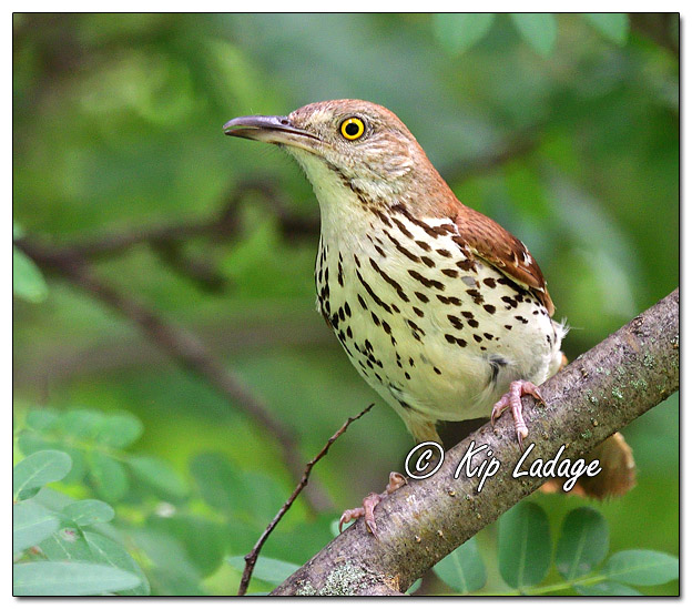 Brown Thrasher in Tree - Image 641080 (© Kip Ladage)