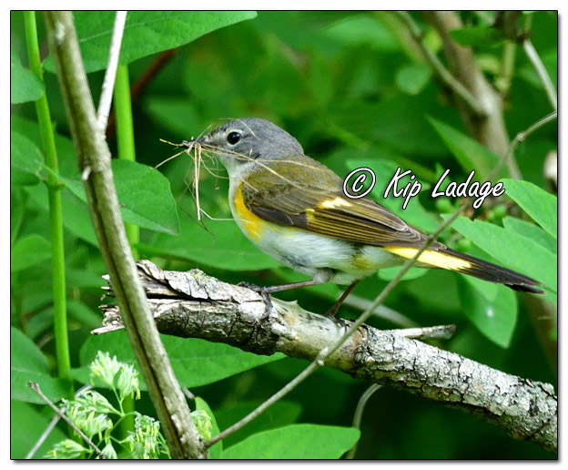 Female American Redstart with Nesting Material - Image 638546 (© Kip Ladage)