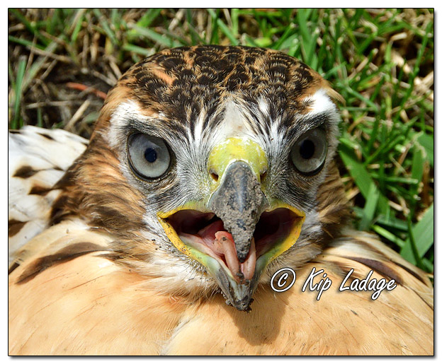 Injured Juvenile Red-tailed Hawk - Image 640010 (© Kip Ladage)
