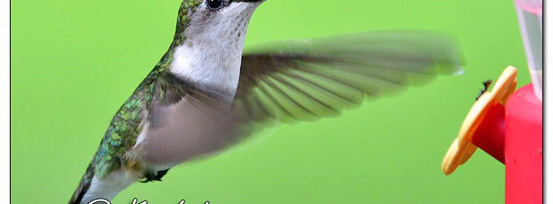 Ruby-throated Hummingbird - Image 639542 (© Kip Ladage)