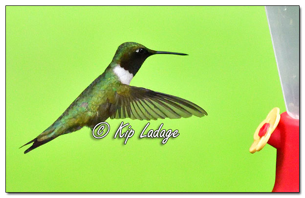 Ruby-throated Hummingbird - Image 639594 (© Kip Ladage)