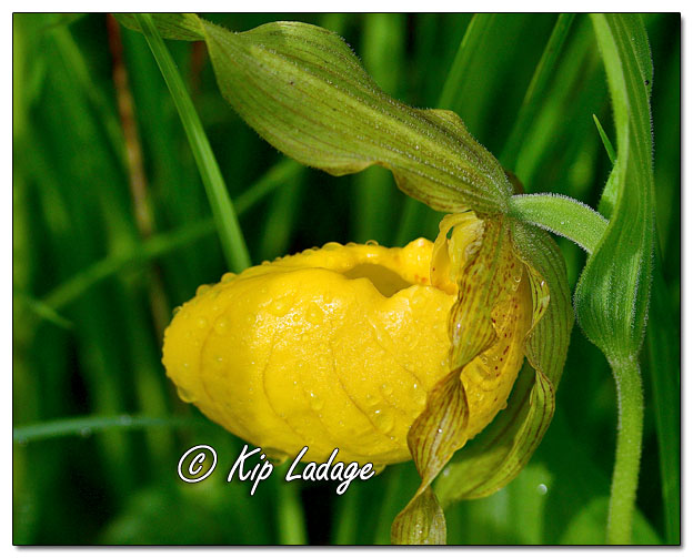 Yellow Lady's Slipper - Image 638190 (© Kip Ladage)