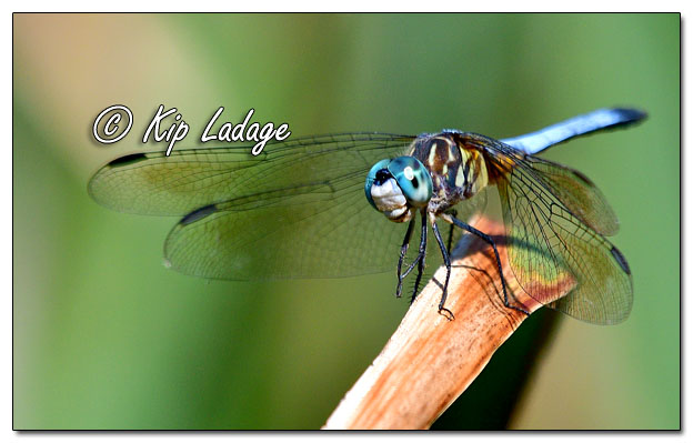 Blue Dasher Dragonfly - Image 641863 (© Kip Ladage)