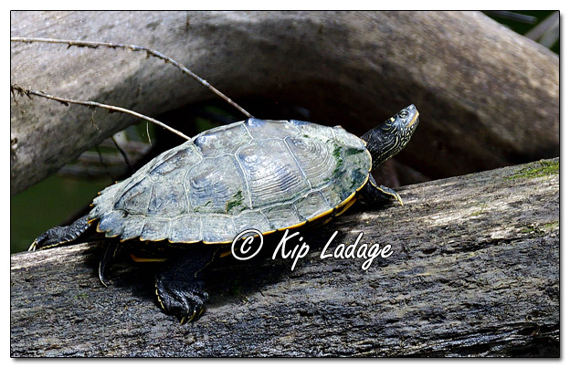 False Map Turtle on the Wapsipinicon River - Image 643801 (© Kip Ladage)