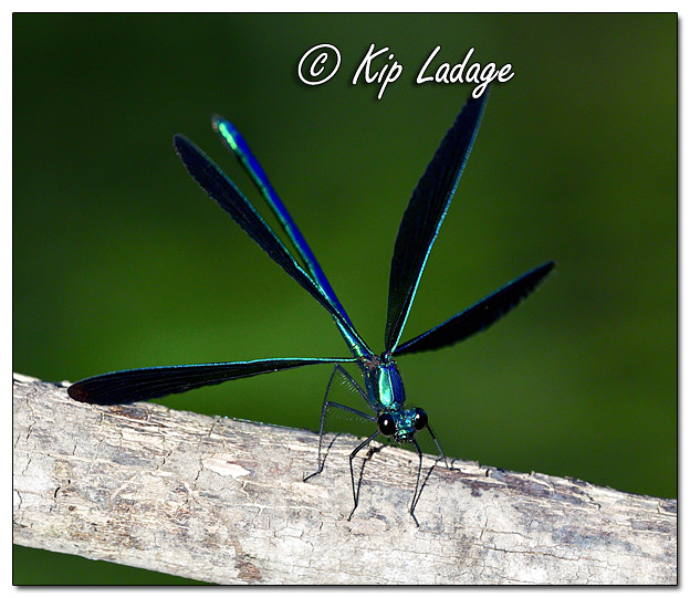 Male Ebony Jewelwing Damselfly - Image 644548 (© Kip Ladage)