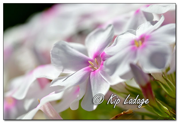 Ruby's White and Pink Phlox - Image 644855 (© Kip Ladage)