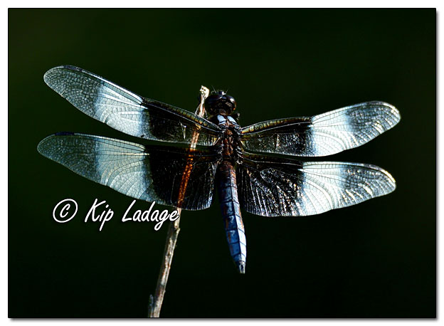Male Widow Skimmer Dragonfly - Image 643540 (© Kip Ladage)